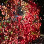 Autumn Creeper