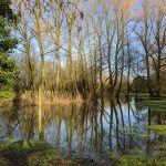 Flooded Willows